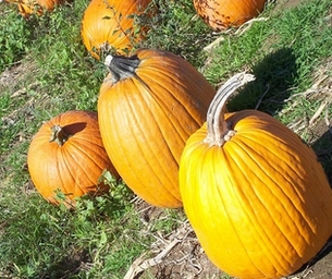 Pumpkins & Fall Festivals!