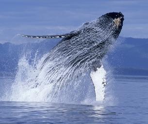 Splash Into the New Underwater Adventure: Humpback Whales