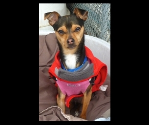 Featured Pet: We've got a Cutie Chihuahua This Week!