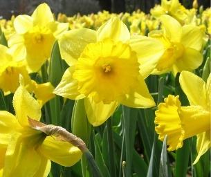 Daffodil Days at Wadsworth Mansion
