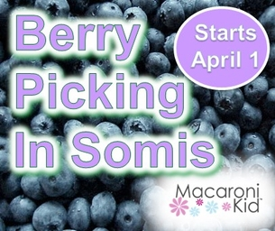 BERRY PICKING IN SOMIS STARTS APRIL 1