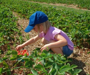 Strawberry Picking in Louisiana