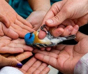 Bird Banding Season Soars Into Audubon Nature Center