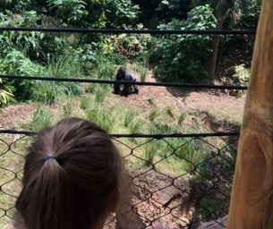 Review: Gorillas at the Houston Zoo